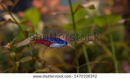 freshwater aquarium  caridina paracheirodon cambarellus #1470108392