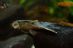 Freshwater aquarium fish,armored catfish, ancistrus sp.