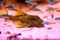 Freshwater aquarium fish,armored catfish, ancistrus sp. and L pleco (classic brown and more L plecos)