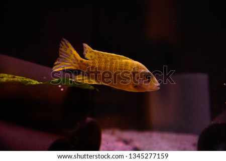 Freshwater aquarium fish, endemic cichlid fish from African lake and south american rivers  #1345277159