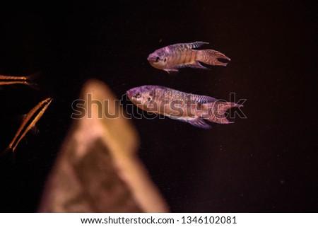 Freshwater aquarium fish, The paradise fish, paradise gourami  (macropodus opercularis)