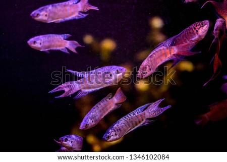 Freshwater aquarium fish, The paradise fish, paradise gourami  (macropodus opercularis)  #1346102084