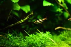 Freshwater aquarium fish, The Pencilfish, Nannostomus sp.