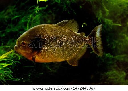 Freshwater aquarium fish, Thered-bellied piranha, thered piranha(Pygocentrus nattereri)