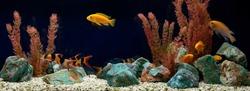 Freshwater aquarium with cichlids and botias. Aqua scape and aqua design.
