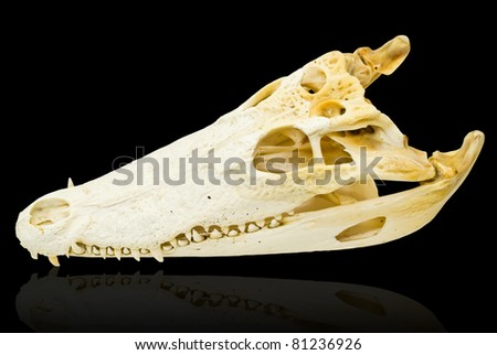 Freshwater crocodile bone skull isolated on the black with clipping path.