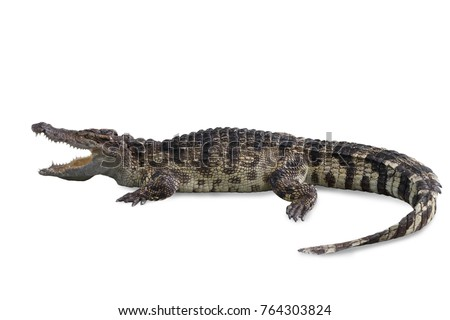 Freshwater crocodile isolated on white background, clipping path.