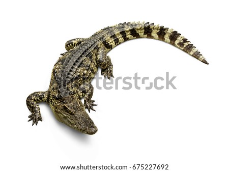 Freshwater crocodile Thai Species or Siamese crocodile ( Crocodylus siamensis ) view from above isolated on white background.