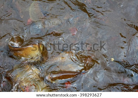Freshwater fish feed in northern Thailand. stock photo