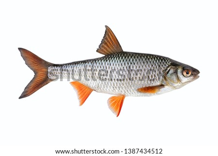 Freshwater fish isolated on white background closeup.  Roach , also known as common roach is a fish in the carp family Cyprinidae, type species: rutilus rutilus.