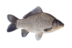 Freshwater fish isolated on white background closeup. The Prussian carp, silver Prussian carp or Gibel carp  is a fish in the carp family Cyprinidae, type species: Carassius carassius.