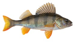 Freshwater fish isolated on white background. This fish  known as the common,  redfin,  big-scaled,  Eurasian or European perch is a predatory species of perch, type species: Perca fluviatilis.