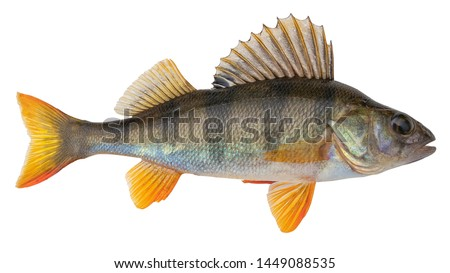 Photo of  Freshwater fish isolated on white background. This fish  known as the common,  redfin,  big-scaled,  Eurasian or European perch is a predatory species of perch, type species: Perca fluviatilis.