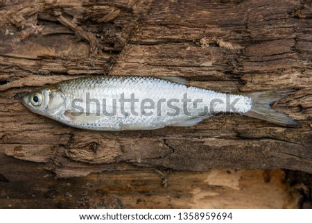 Freshwater fish just taken from the water. Bleak fish on natural background. Catching fish - common bleak.