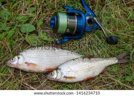 Freshwater fish just taken from the water. Several roach fish on green grass. Catching fish - common roach.