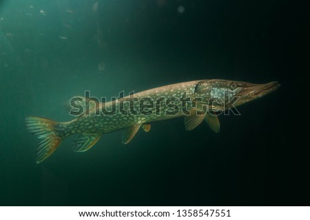 Freshwater fish pike perch (Sander lucioperca) in the beautiful clean pound. Underwater shot in the lake. Wild life animal. Pike perch in the nature habitat with nice background. Live in the lake.