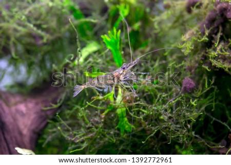 Freshwater ghost shrimp - Freshwater Glass Shrimp #1392772961