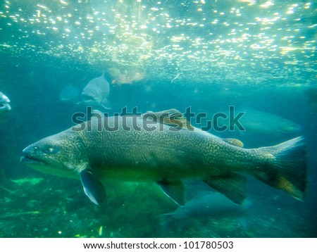 Freshwater hybrid fish Tiger Trout (Salmo trutta x Salvelinus fontinalis) underwater with other big trouts close-by.