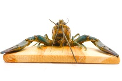 Freshwater lobster on wooden board on isolated white background. Freshwater lobster is new business in Malaysia and the business is consider as exclusive with no many breeder yet in the country.