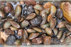 freshwater mussel in natural water.