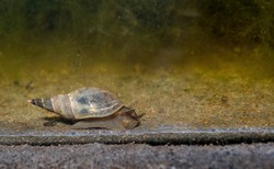Freshwater pond snail, mollusc. UK.