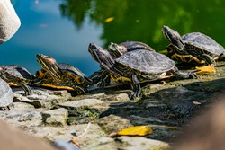 Freshwater red-eared turtle or yellow-bellied turtle. An amphibious animal with a hard protective shell swims in a pond and basks on land in sunlight among rocks