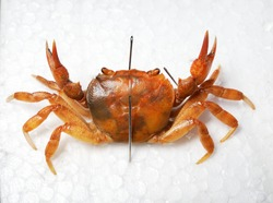 Freshwater river crab Potamon sp. pinned for collection, isolated on white background. Italy. Wildlife, biology, zoology, carcinology, science, education, museum, university, environmental damage