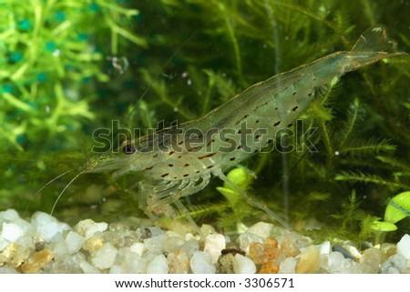 freshwater shrimp close-up shot in aquarium, natural lighting