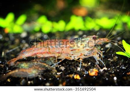 freshwater shrimp closeup shot in aquarium, natural lighting