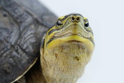 Freshwater Turtle Name : Cuora amboinensis select focus with note and eye on white background.