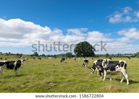 Fresian Cows Grazing On Farm Pasture With Blue Summer Sky