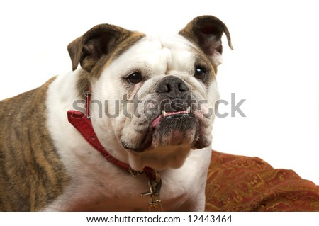 Friendly Bulldog