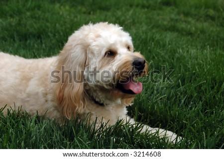 Friendly dog lying on a lawn