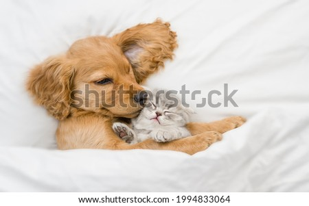 Friendly English Cocker spaniel puppy hugs tiny gray kitten. Pets sleep together under white warm blanket on a bed at home. Top down view