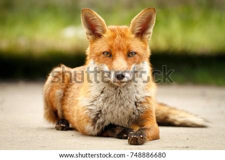 Friendly fox posing for a photo