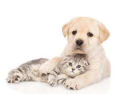 Friendly Golden retriever puppy hugs a tabby kitten. isolated on white background