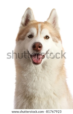 Friendly Husky Dog