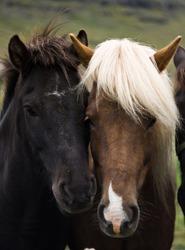 Friendly icelandic horses, Iceland 2011