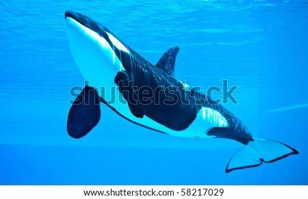 friendly killer whale, orca