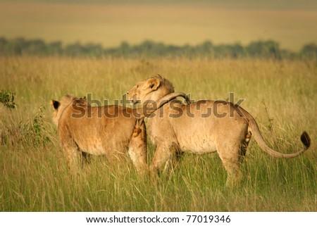 Friendly lions walking through Masai Mara, Kenya