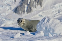 Friendly looking crabeater seal on snow, closeup in ice landscape, Antarctica