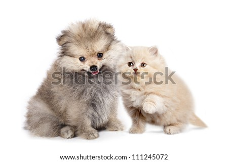 Friends - small Puppy spitz and kitten  persian - stock photo