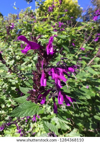 Friendship sage or salvia amistad purple flowers #1284368110