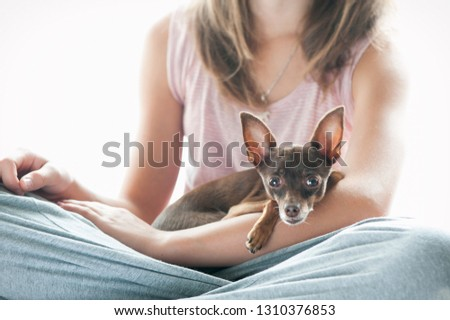 Friendship, trusting, devotion. Little toy-terrier dog lying on young owner's hand, looking in to camera. Multicolored vibrant indoors filtered image #1310376853