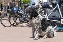 Friese Stabij,  Frisian pointer or Stabyhoun dog sitting on the pavement with bikes in a village