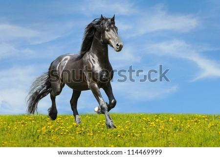 Friesian Black horse runs trot on the meadow