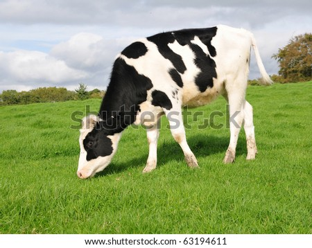 Friesian Calf Grazing in a Green Field