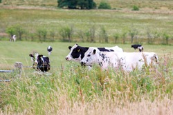 Friesian cows standing behind a barbedwire fence hidden by long grass