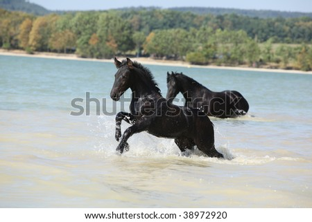 Friesian foal jumping from the water