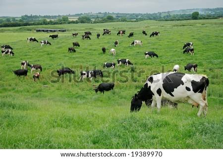 holstein dairy cow. (Holstein) dairy cows